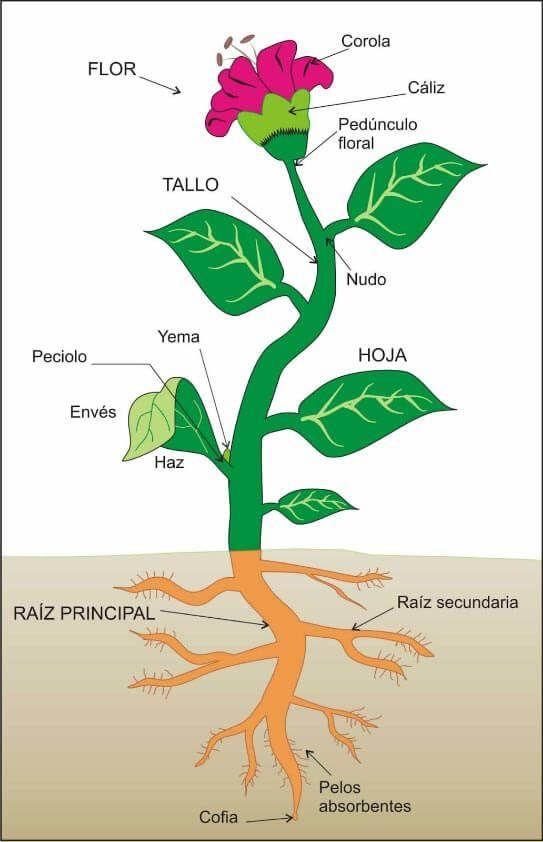 Partes De La Planta Aprendiendo Sobre Las Plantas Partes De La Planta Partes De La Flor