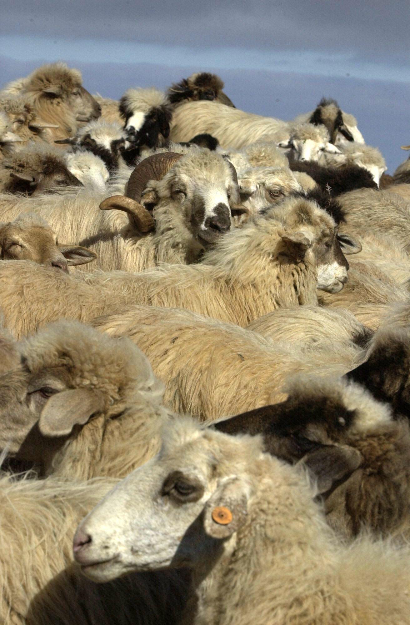 Oveja Canaria. Raza Autóctona en Peligro de Extinción