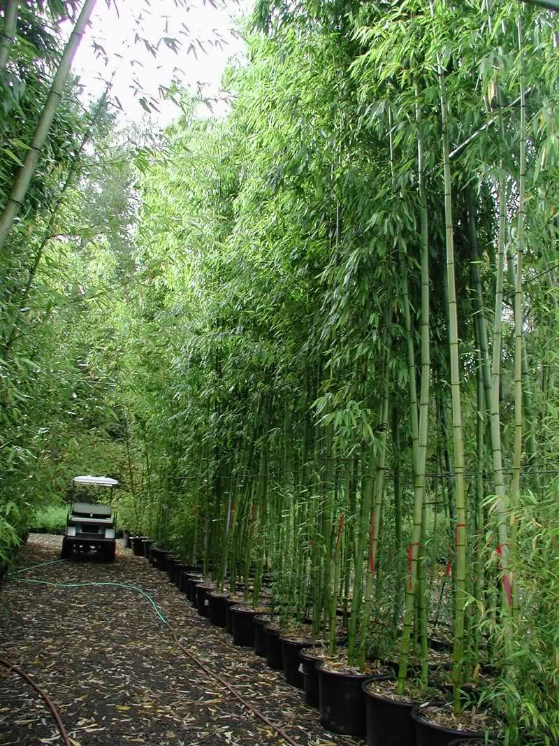 phyllostachys pubescens bamboo