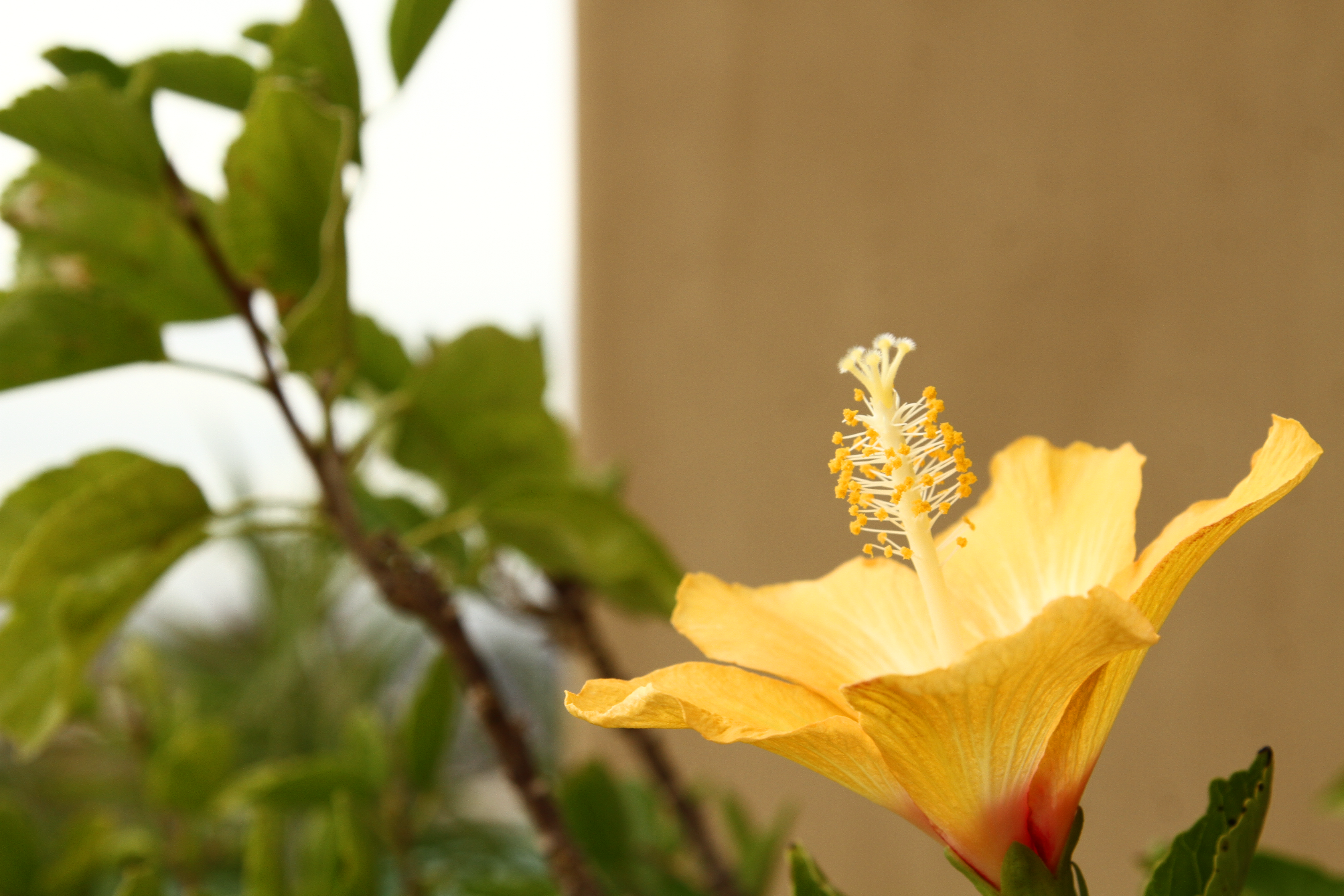 A beautiful yellow hibiscus in an Arizona garden. Hibiscus are easy ...