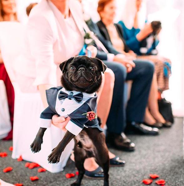 Adorable Pug Dressed In Tuxedo Wedding Dogs And Pets Liverpool Wedding Photography Pug Wedding Liverpool Wedding Photography Dog Wedding