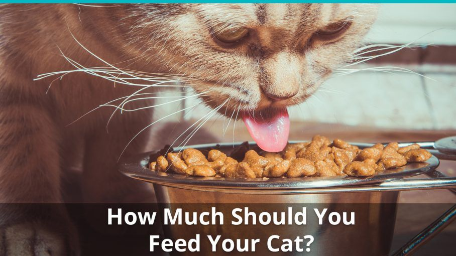 How Much Should I Feed My Cat Cat Feeding Guide For Wet And Dry Cat Food With Charts And Calculators Cat Feeding Guide Cat Feeding Cats
