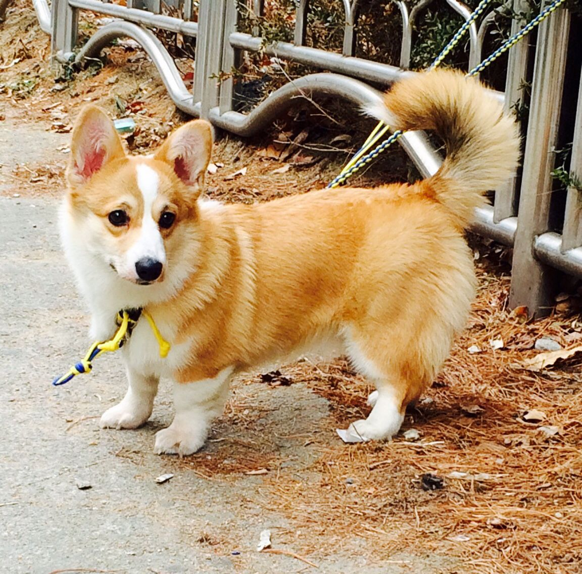 Pembroke Welsh Corgi Alert And