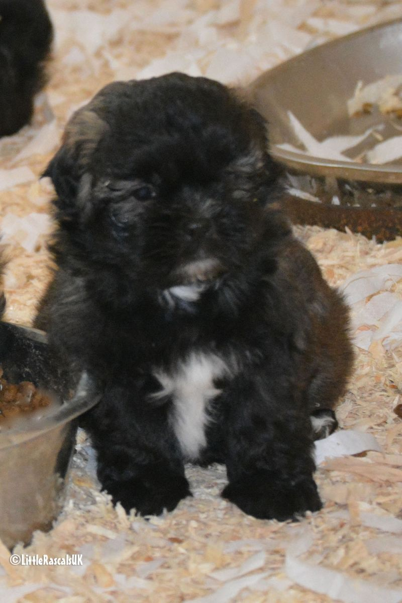 Malshi Puppies For Sale Little Rascals Pets Ltd Puppies