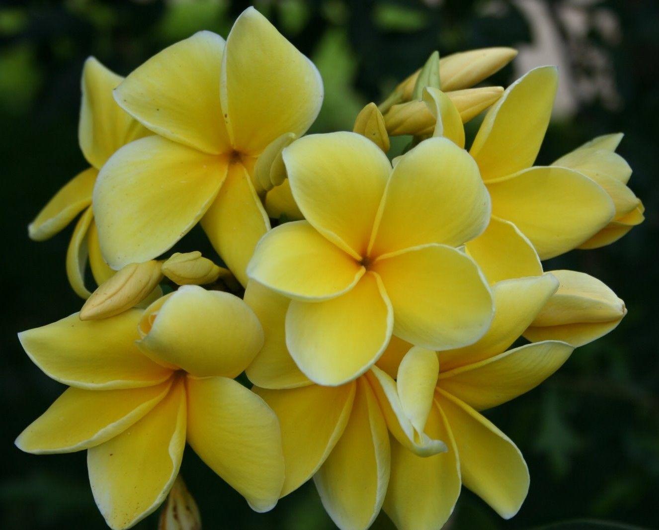 d182684ea Plumeria Tree | Plumeria Rubra Yellow White Apocynaceae | plumeria ...