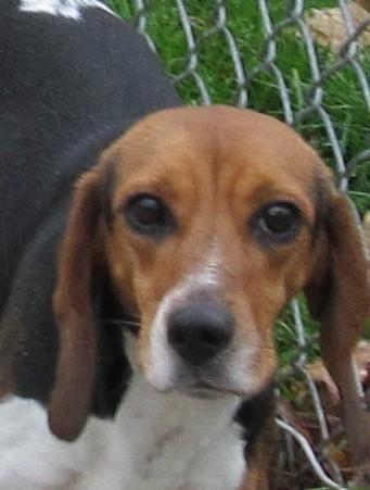 Adopt 30 Bonnie Adopted On Adoptable Beagle Beagle Dog Beagle
