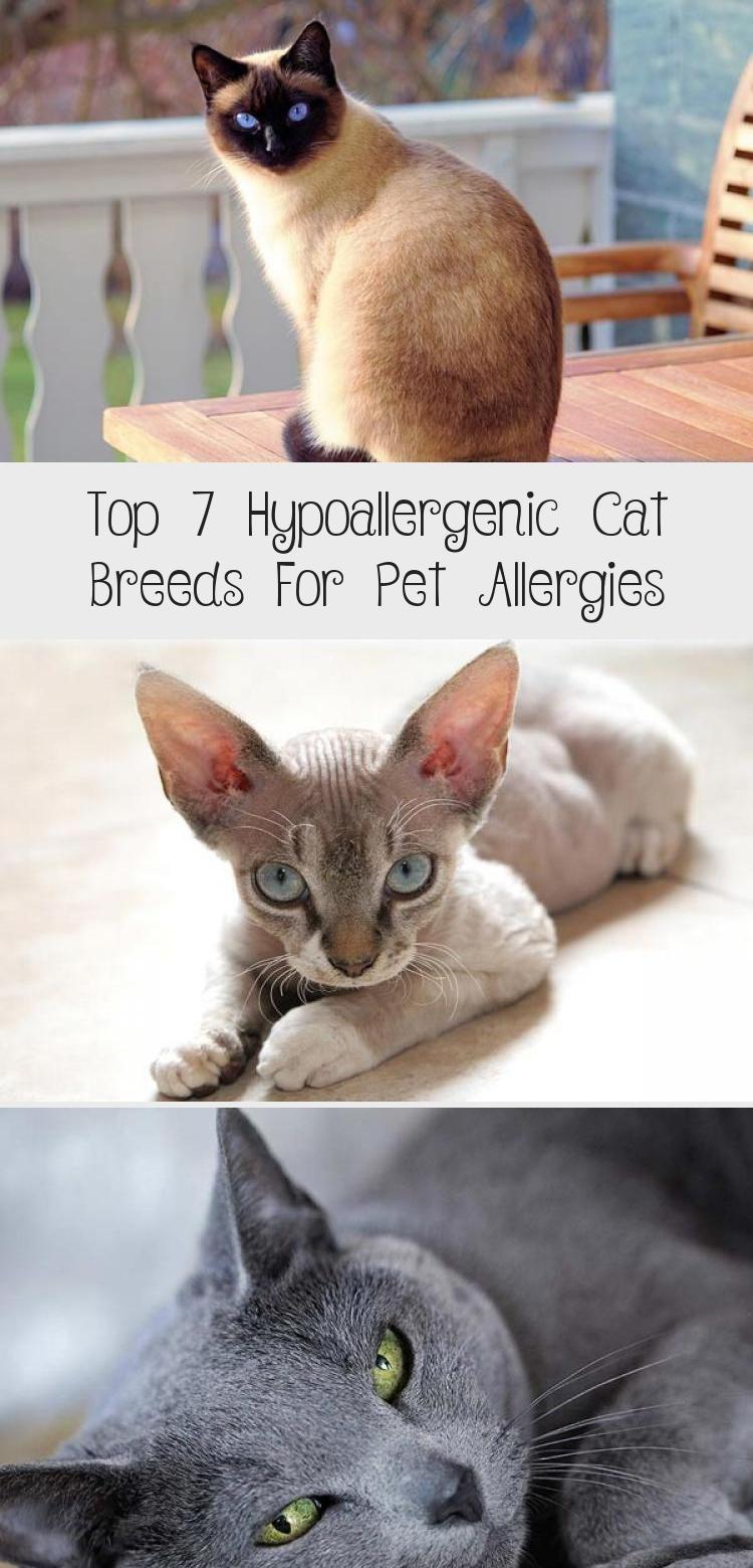 Top 7 Hypoallergenic Cat Breeds For Pet Allergies in 2020