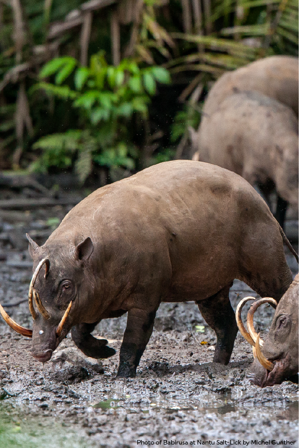 North Sulawesi Babirusas Get Their Name From Their Unusual Appearance The Name Babirusa Literally Means Pig D Rainforest Trust Rainforest Habitat Rainforest
