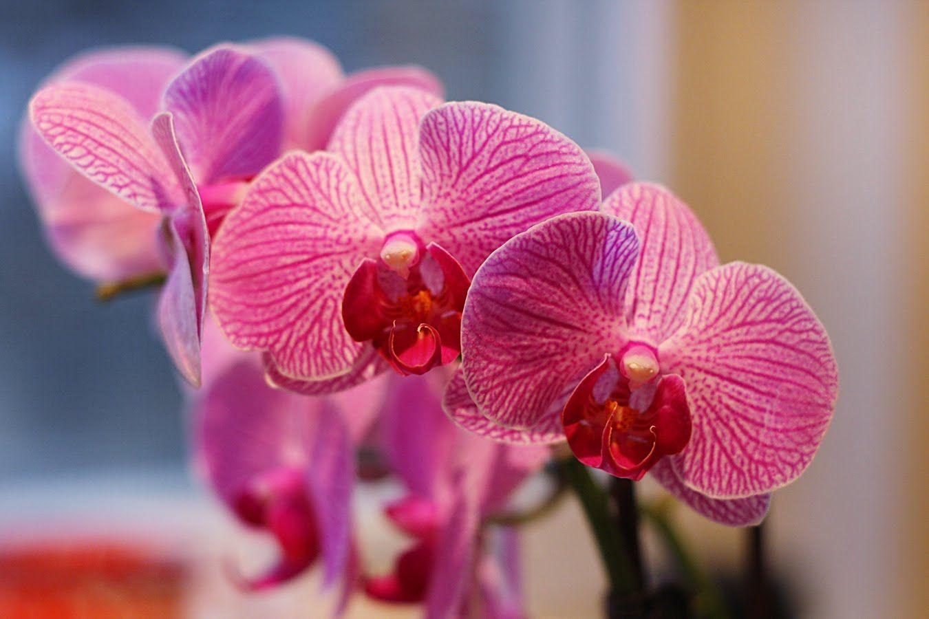 Amazing Deep Pink Orchid Wallpaper High Resolution High