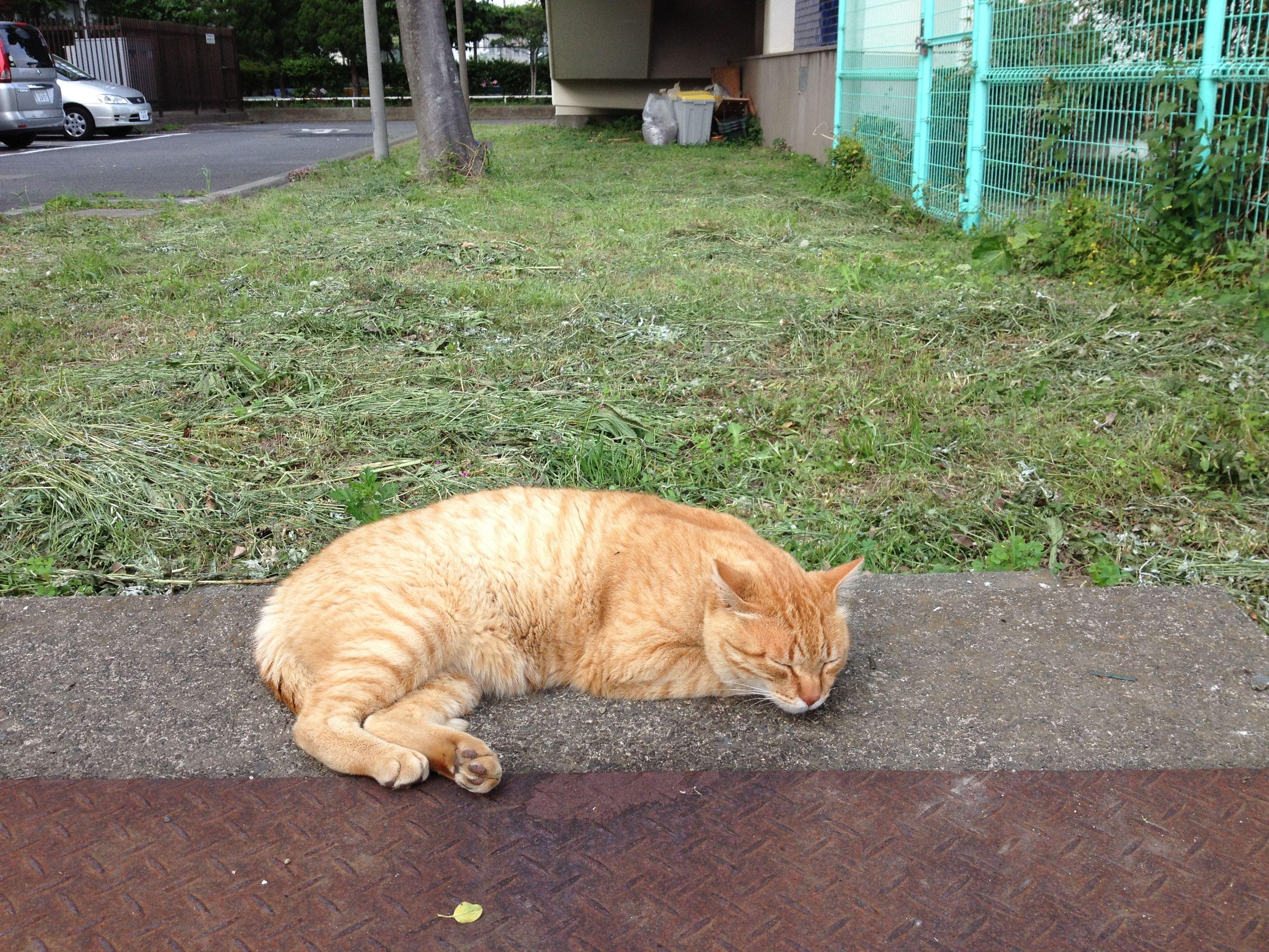 お休みになられました。けっこう大型チャトラ。