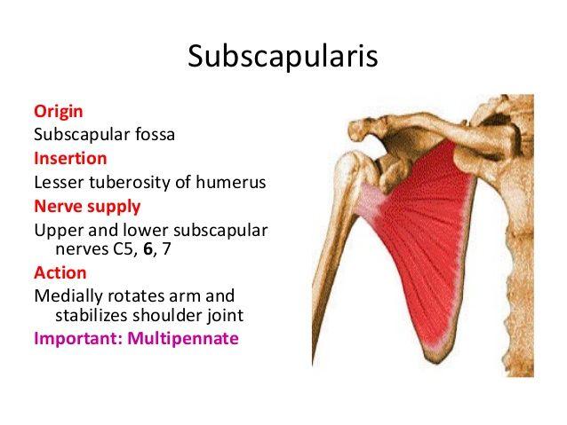 subscapularis origin and insertion