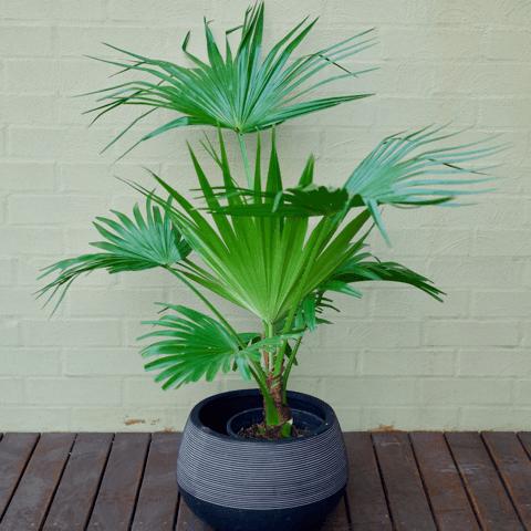 Palm Chinese Fan Palm Plants Bloomspace Innerjungle