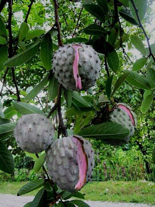 Custard Apple (Annona), a fruit native to India and America, requires hot and dry climate