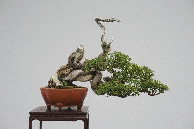 Lovely Burning Bush Bonsai