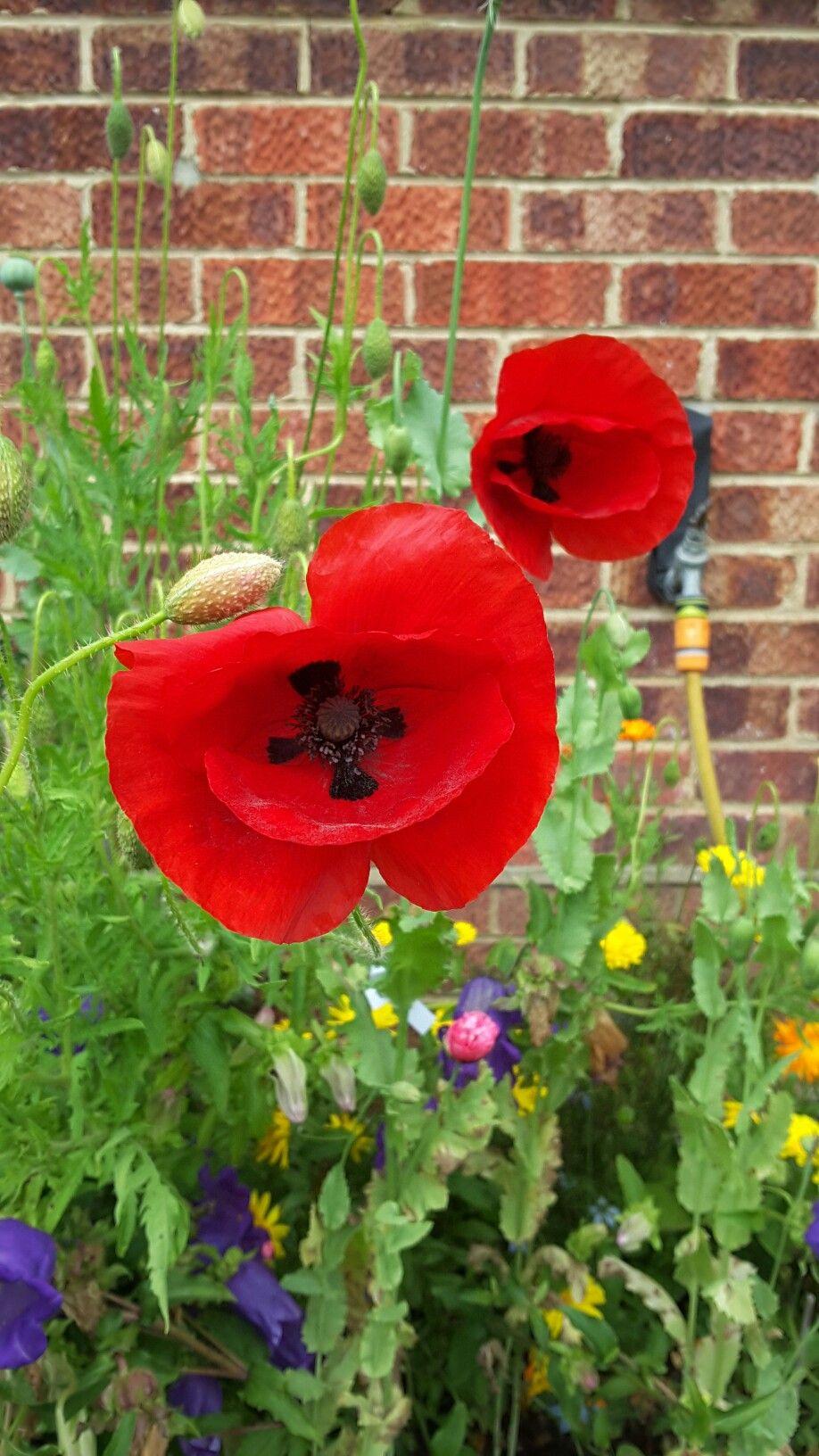 Unusual Type Of Poppy In My Garden Papaveraceae Poppies
