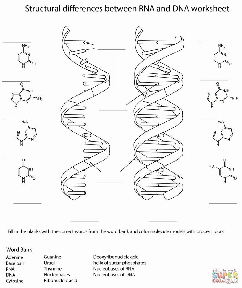 Dna And Rna Structure Worksheet Answer Key Dna Worksheet Cell