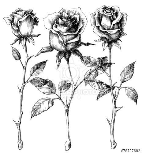 Black And White Single Long Stemmed Rose Drawing Free Download