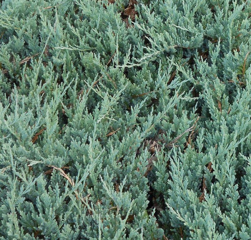 Juniperus Horizontalis Blue Chip Online From Jacksons Nurseries