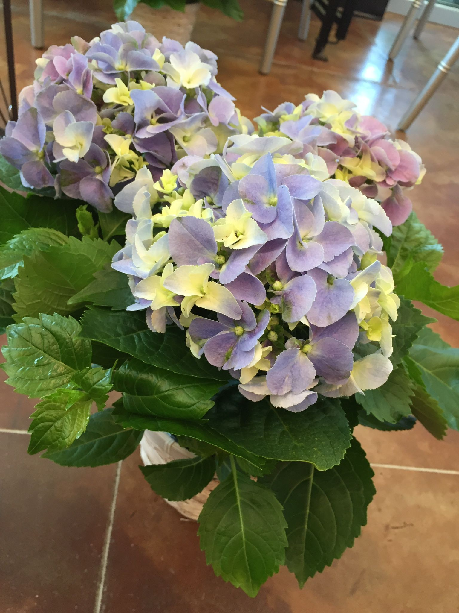 Flowers are our passion hydrangeas hydrangea online