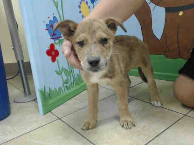 ~~SEE VIDEO!! MOM AND 2 PUPS NEED OUT THIS WEEKEND 04/29 -04/30/17~~ local foster needed❗~ HOUSTON-EXTREMELY URGENT-~This DOG - ID#A482072 I need a foster home. I am a female, tan and black Catahoula Leopard Hound and Australian Cattle Dog. The shelter staff think I am about 13 weeks old. Harris County Public Health and Environmental Services https://www.facebook.com/harriscountyanimalsheltervolunteers/videos/501108460013399/
