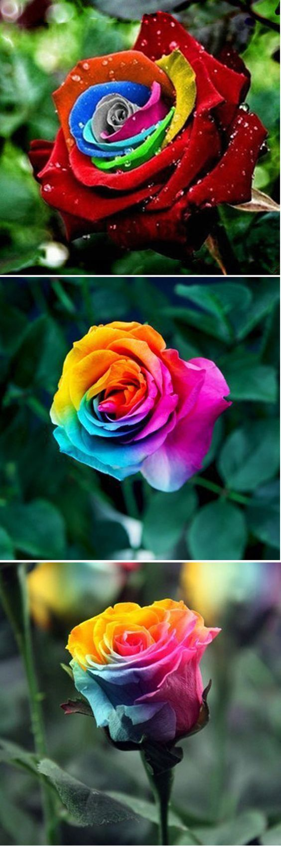 Rainbow Rose Seeds - Multicolor Variety Roses - Winter Hardy Plant ...