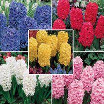 Jewel Hyacinth Collection
