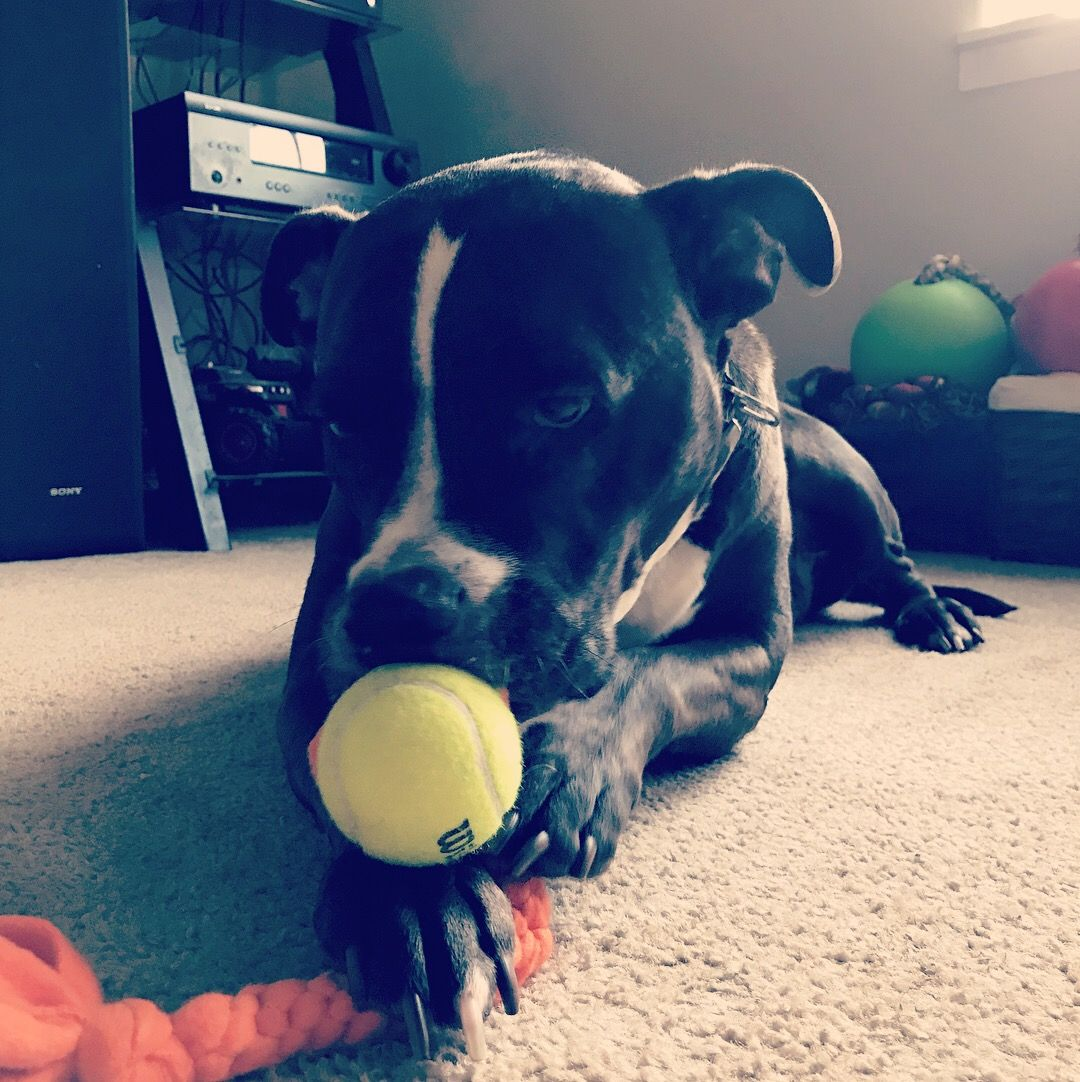 Riley The Black Pit Bull Is Enjoying His Tennis Ball Tug Toy From