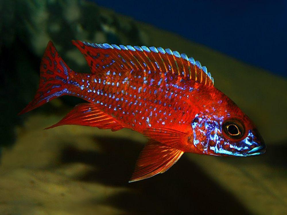 Aulonocara Sp Ruby Red In 2020 African Cichlid Aquarium Best Aquarium Fish Lake Malawi Cichlids
