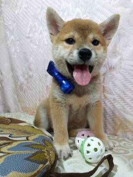 Shiba Inu Puppy For Sale In Los Angeles Ca Adn 50288 On