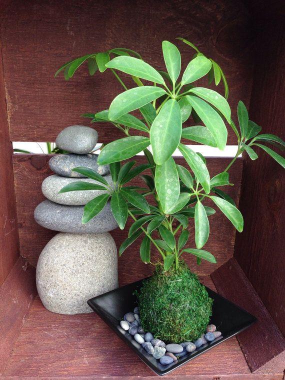 Schefflera Kokedama - Moss ball, Japanese Traditional Garden