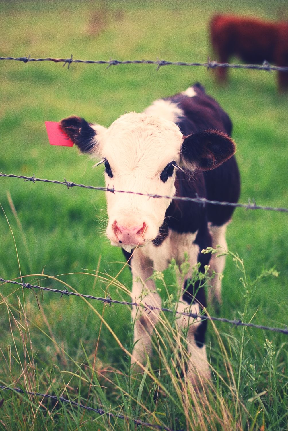 related pictures cute cows - photo #12