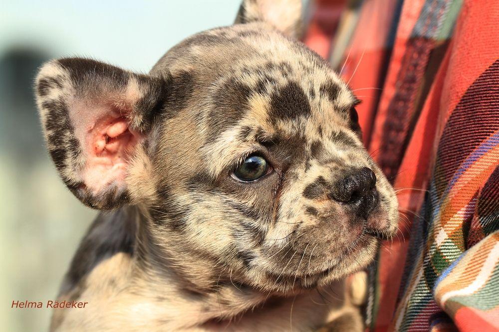 25 Best White English Bulldog Dog Breed Black english