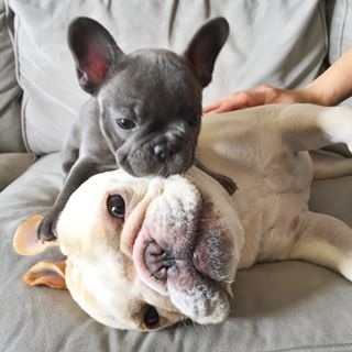 Nyc Frenchies Who Love Burrowing Peanut Butter And Most