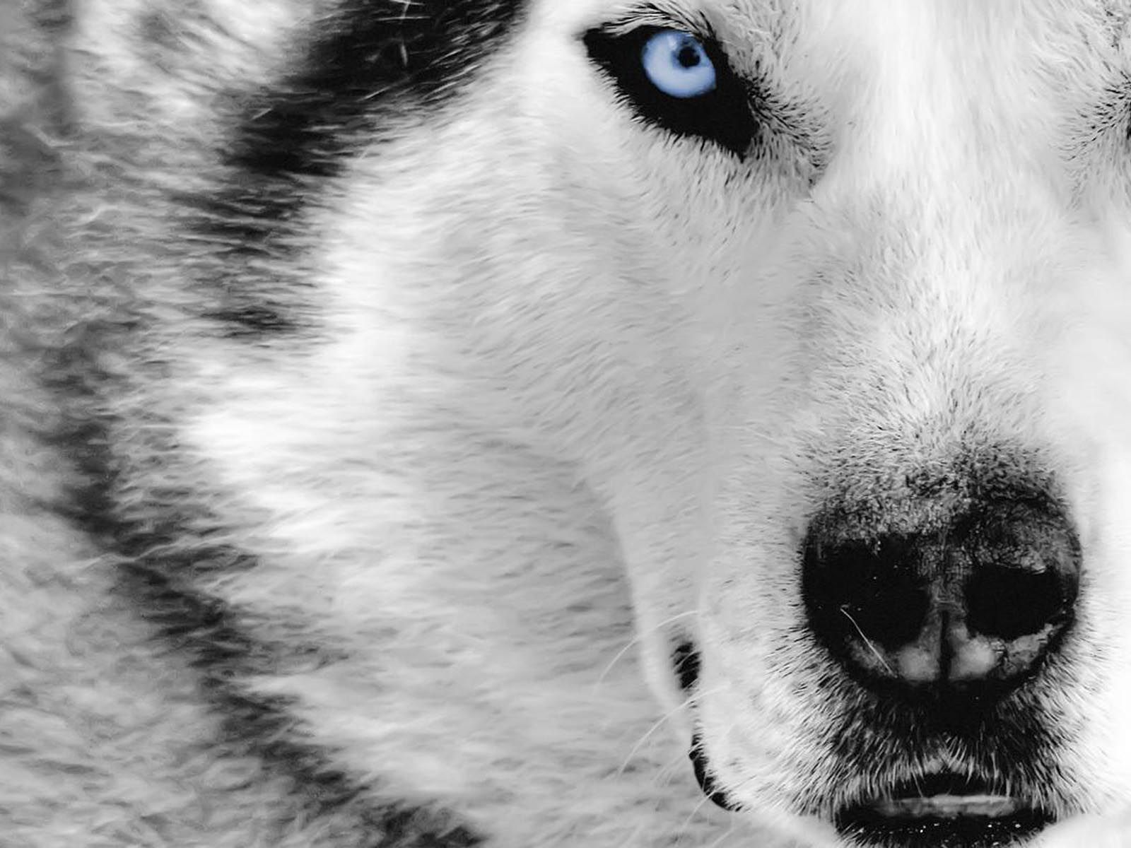 Husky Dog Wallpaper Hd 80615 For Walls And Border Wolf Eyes