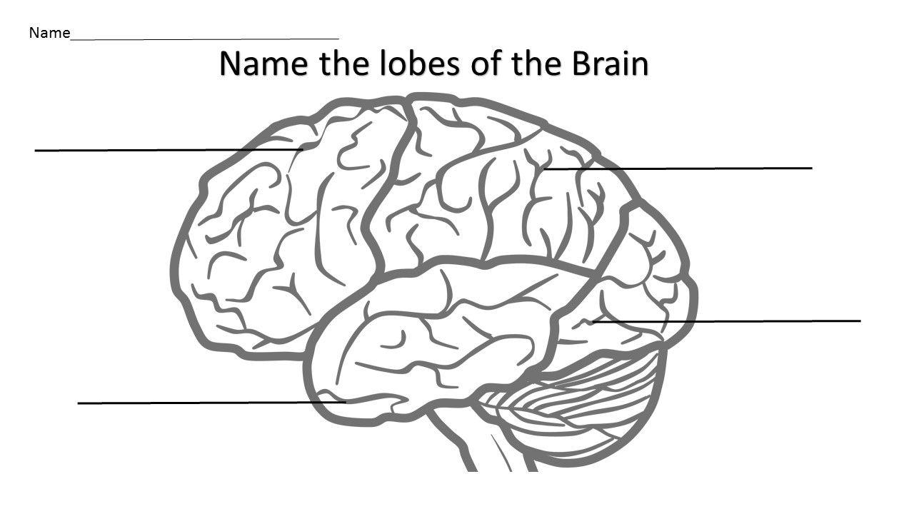 worksheet Brain Labeling Worksheet growth mindset brain science anatomy how does the work science