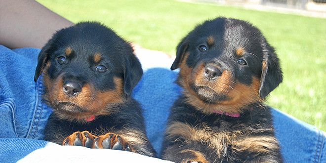 History Facts Your Rottweiler Wants You To Know Rottweiler