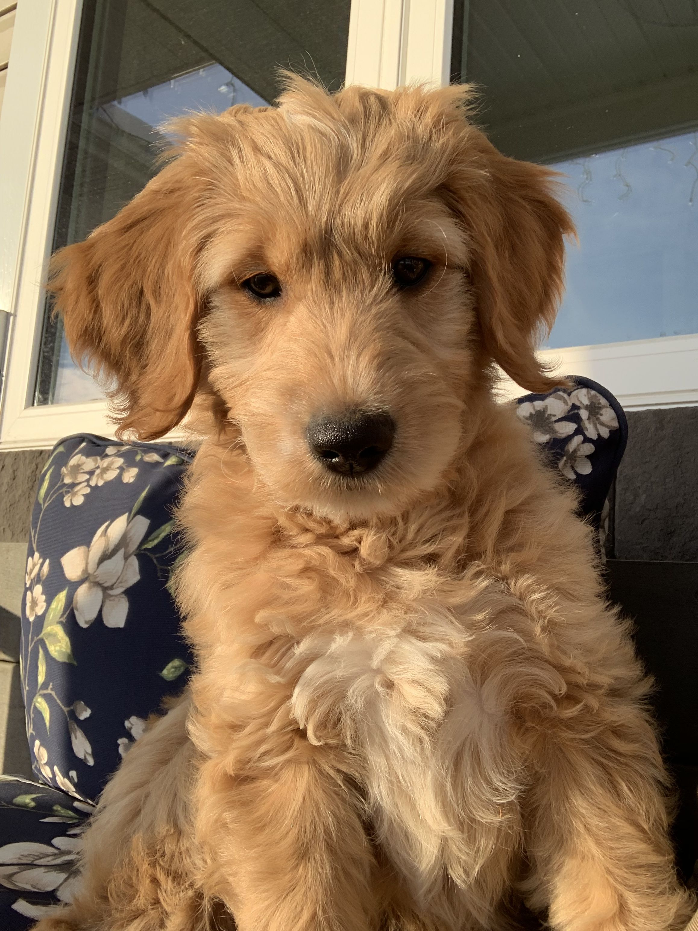 Photo of Golden hour and a Goldendoodle