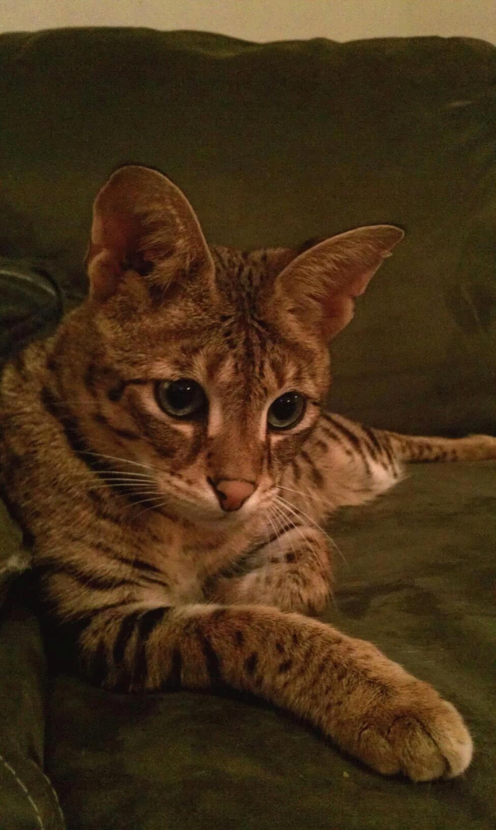 Apollo, F1 Savannah cat Beautiful cats