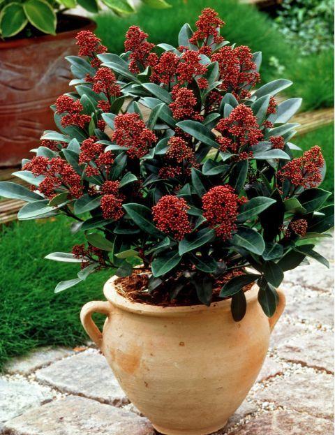 skimmia japonica 39 rubella 39 garden balcony pinterest. Black Bedroom Furniture Sets. Home Design Ideas