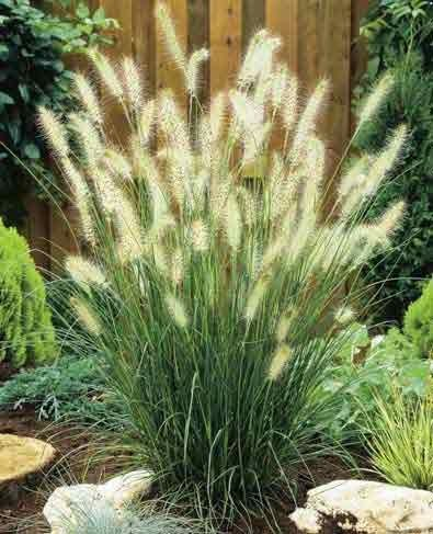 Fountain grass hamelin penisetum sun outdoor dreams for Small ornamental grasses for sun
