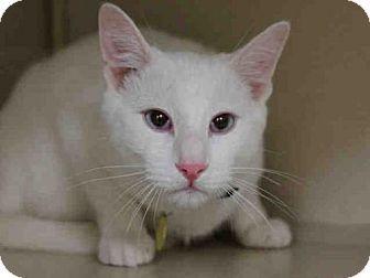 Domestic Mediumhair Cat For Adoption In Denver Colorado Dash