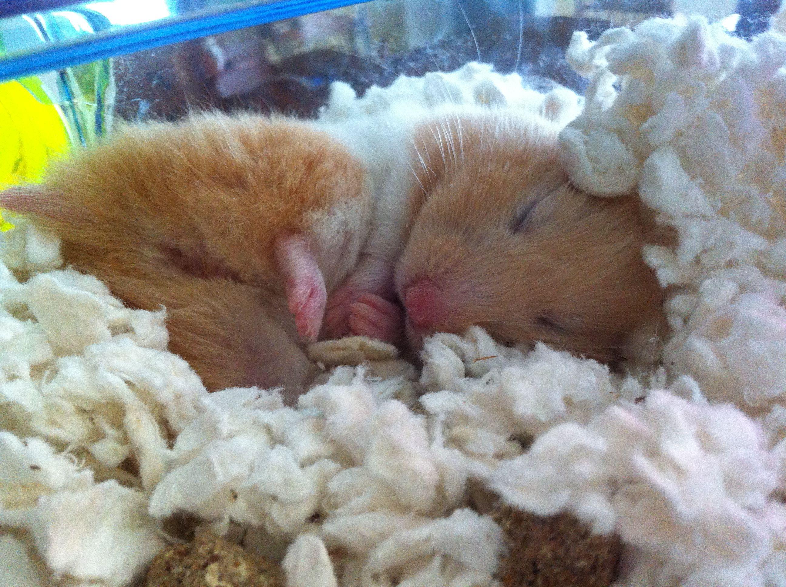My adorable teddy bear hamster - 2482.6KB