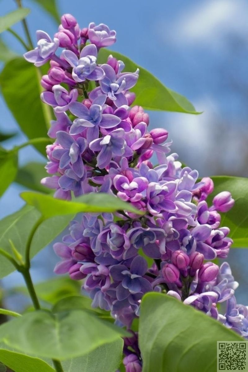 Pin By Lorrie Harris On Wish List Spring Flowers Lilac Flowers Amazing Flowers