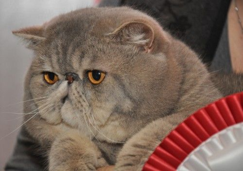 Ladiluck Exotic Shorthairs ~ My Cats | Cats | Exotic cats ...