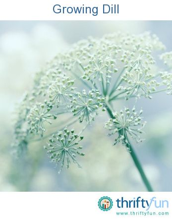 Growing Dill How To Grow Dill Edible Garden Growing Herbs 400 x 300