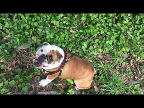 Juju The English Bulldog Rolling Down The Hill Youtube English