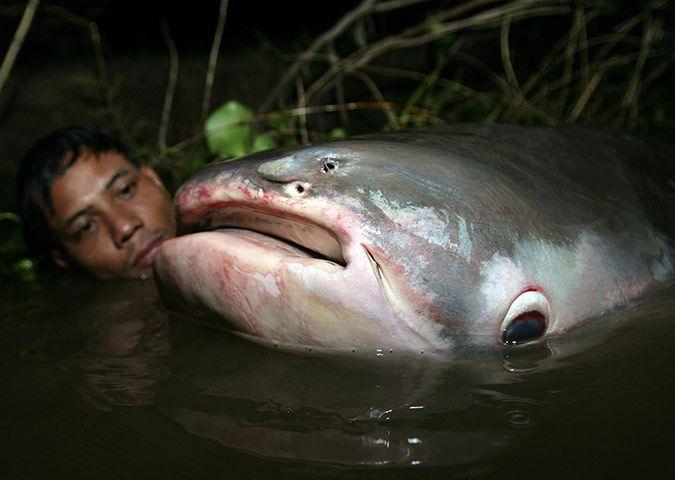 Tonle Sap's giant catfish   Pinterest