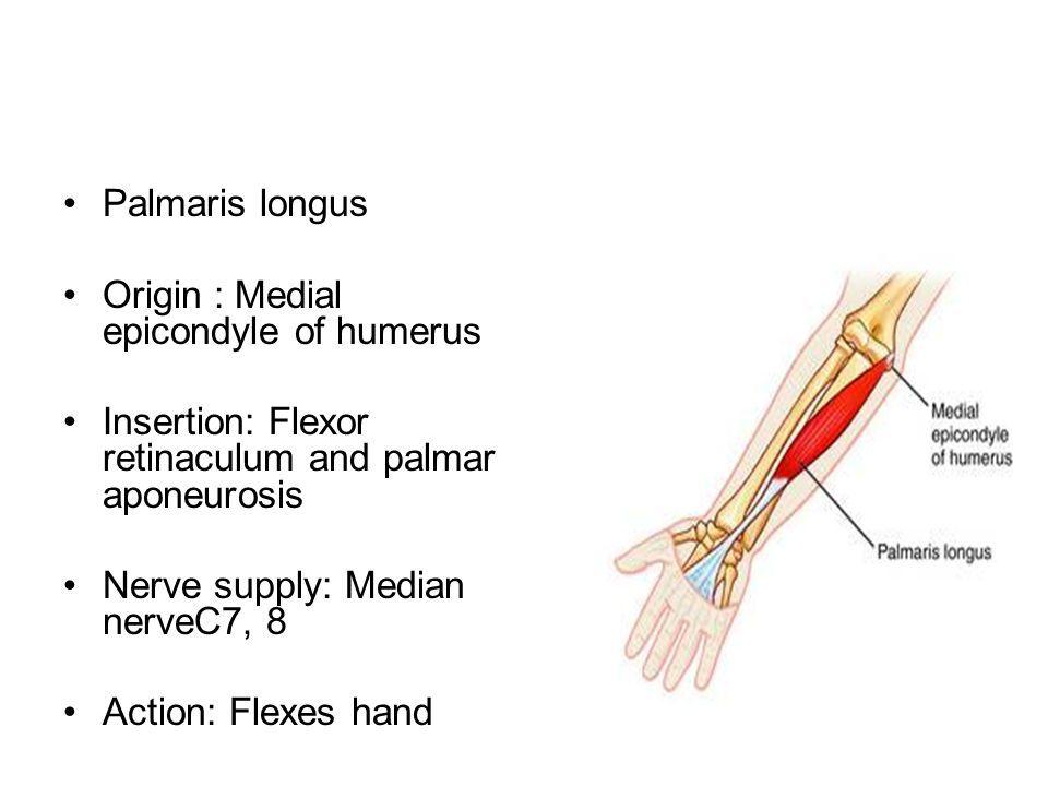 The Cubital Fossa. - ppt video online download | Anatomy | Pinterest