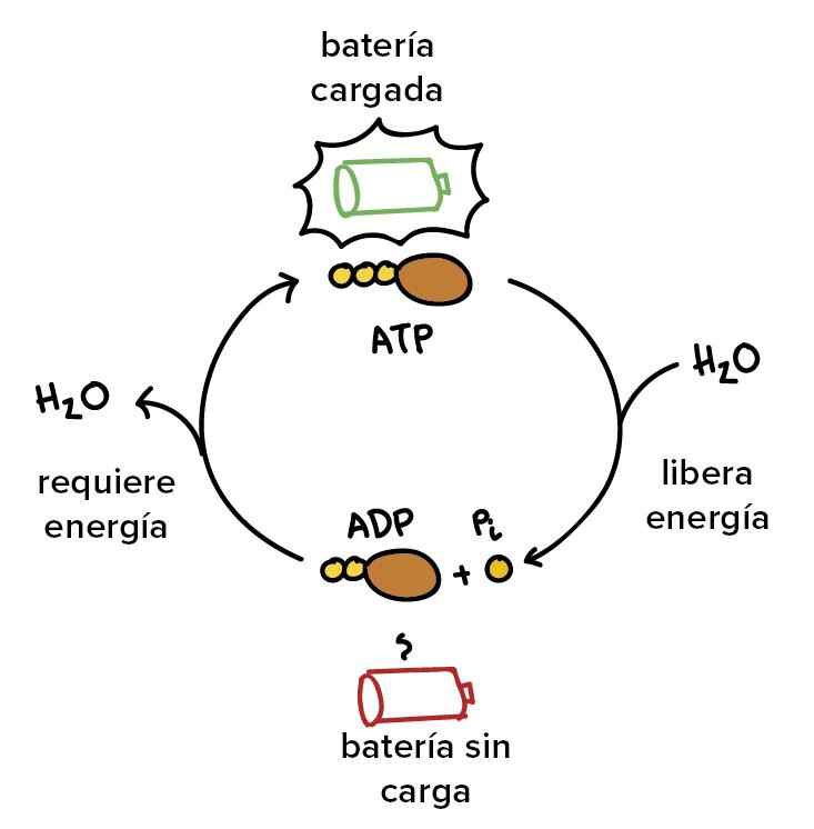 1) El ATP y las reacciones acopladas (artículo) | Khan Academy ...