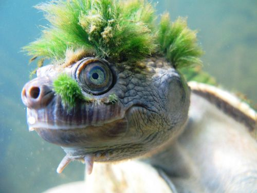 Tortue Punk - Mary River - Australia